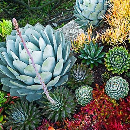 Beachside succulent garden; Sep'12; Tide Pool Beach Garden n Corona Del Mar, CA