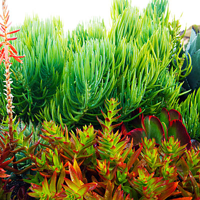 "Beachside succulent garden; Sep'12; ""underwater"" plants"
