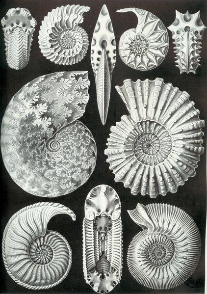 Haeckel_Ammonitida