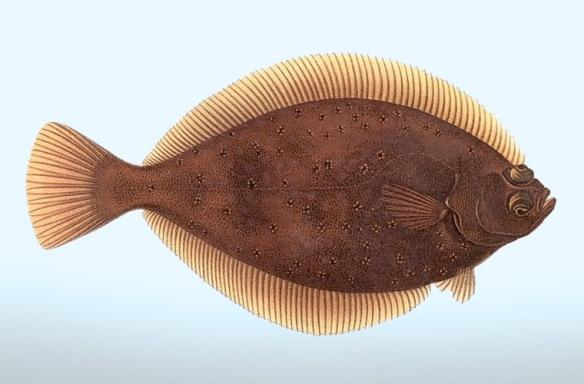 Kuvalähde: Wilhelm vonWright: Pohjolan kalat.